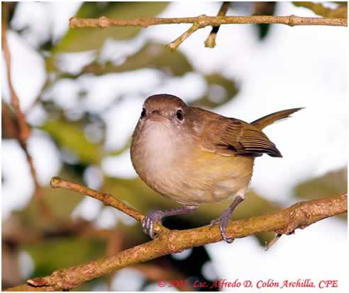 Photo/Link of the Puerto Rican Vireo/Bien-te-veo
