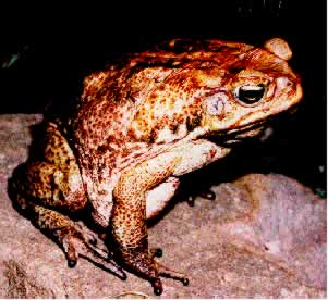 Photo/Link of the Giant Toad/Sapo Comon