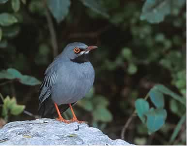 Photo/Link of the Red-legged Thrush/Zorzal de Patas Coloradas