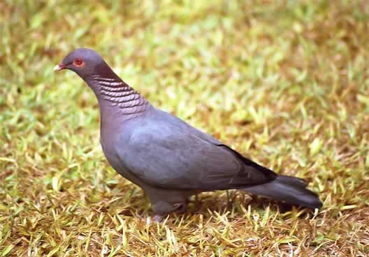 Photo/Link of the Scaly-naped Pigeon, Paloma Turca