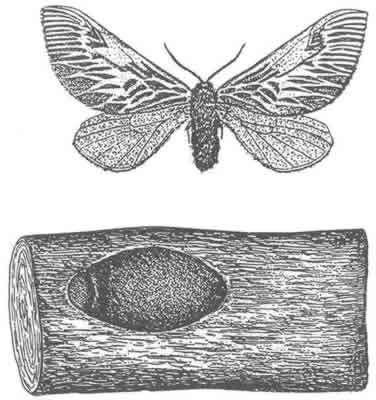 Link/Drawing of Flannel Moth, Plumilla