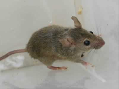 Photo of the House Mouse/Ratón Casero