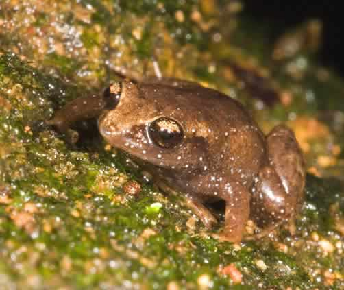 Photo/Link of the Dwarf Coqui, Coqu������ Duende