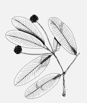 Illustration/Link of the Luquillo Mountain Lidflower/Calyptranthes luquillensis