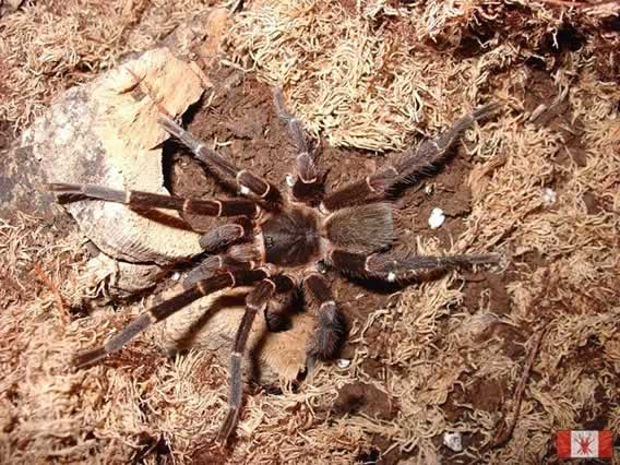 Photo/Link of the Common Puerto Rican Brown Tarantula, Ara������a Pel������a