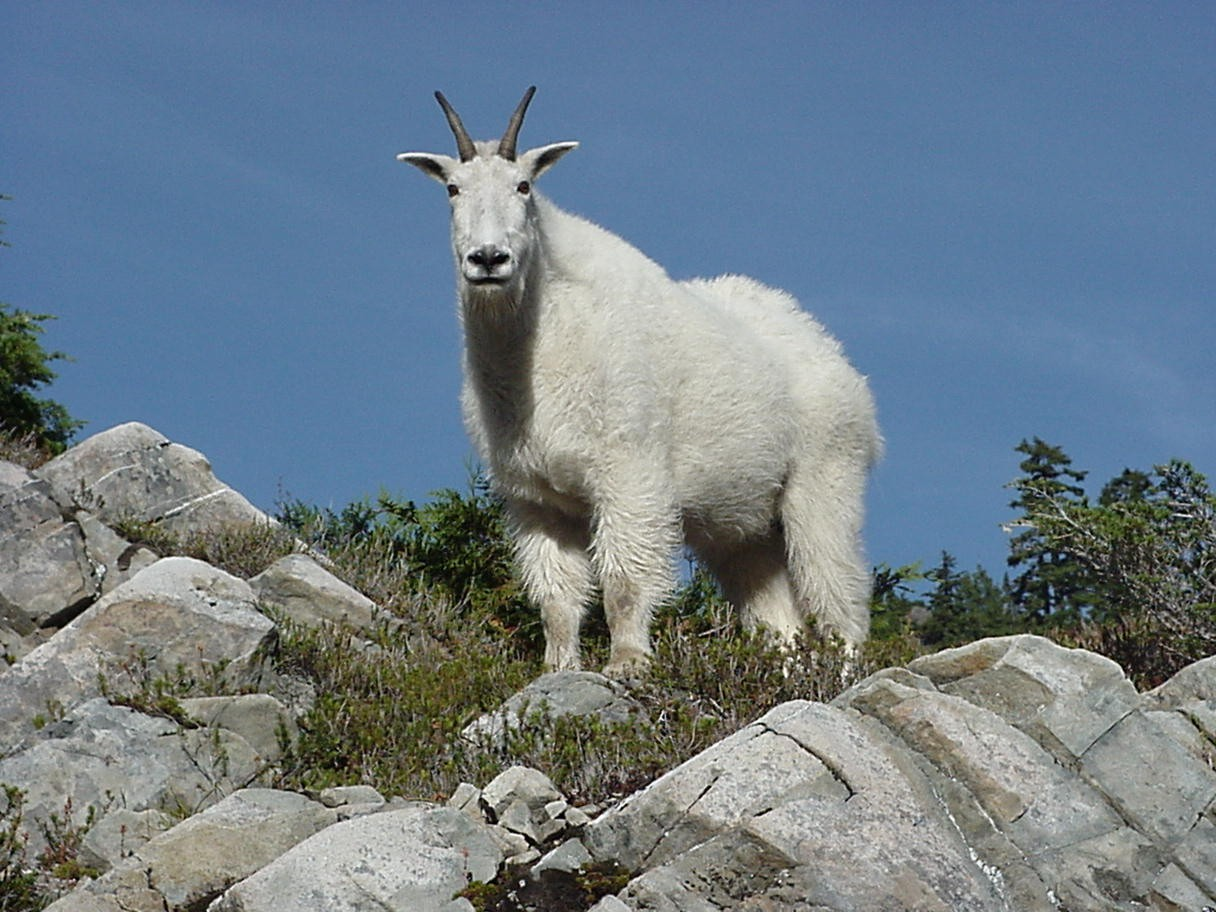 The Forest's rugged mountain ranges are ideal habitat for Mountain Goats.