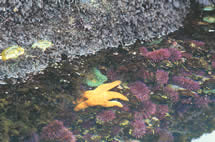 photo of sea star, anemone and urchins in tidepool