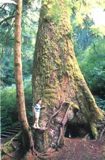 photo of hiker by large old growth tree