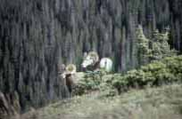 Picture of Big Horn Sheep