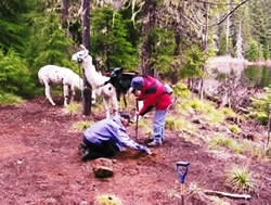 volunteers and llamas clearning up campground in Three Sisters Wilderness