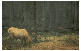 Photo of an elk in habitat after an area had burned.