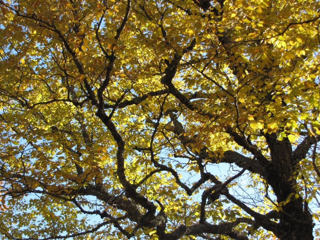 Looking up into a gnarled elm with yellow leaves.