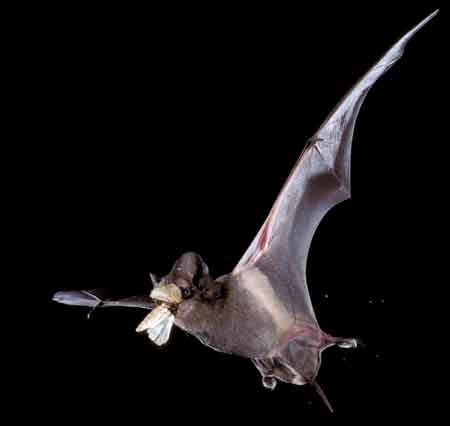 photo of bat wings extended flying
