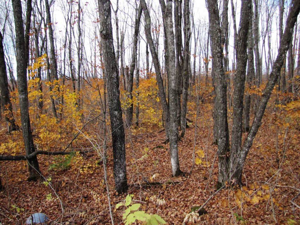 Late fall in the woods with leaves gone except in the understory.