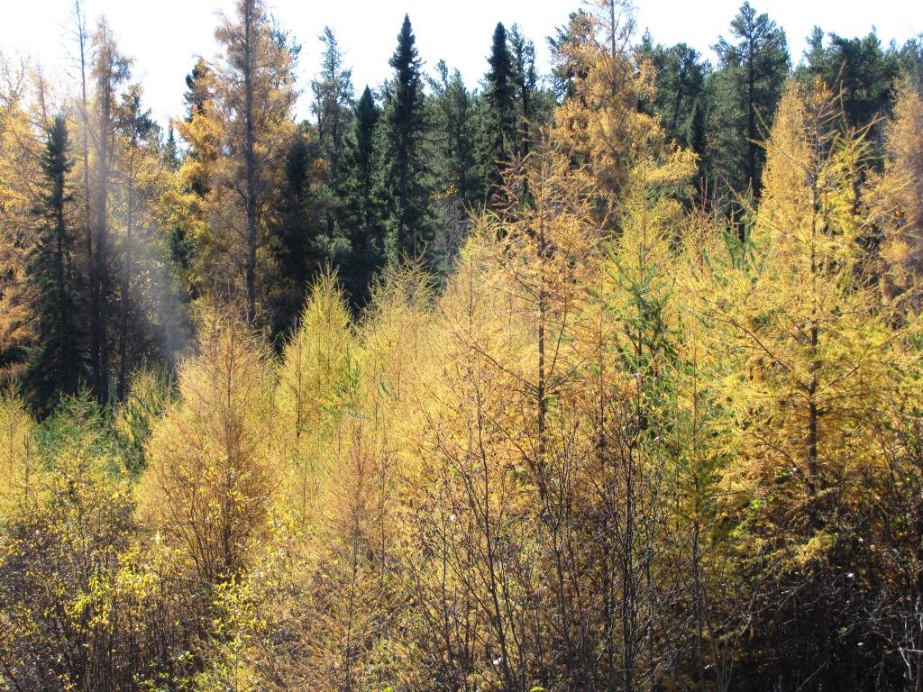 Yellow tamarack with spruce trees.