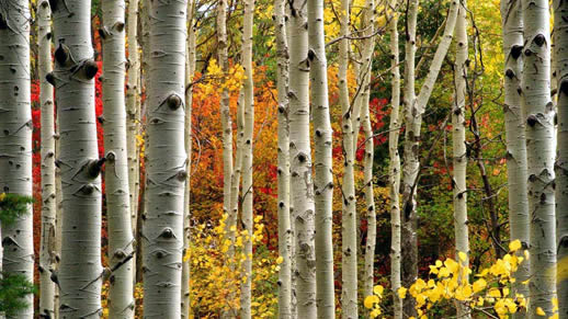 Colorful aspen trees in the fall