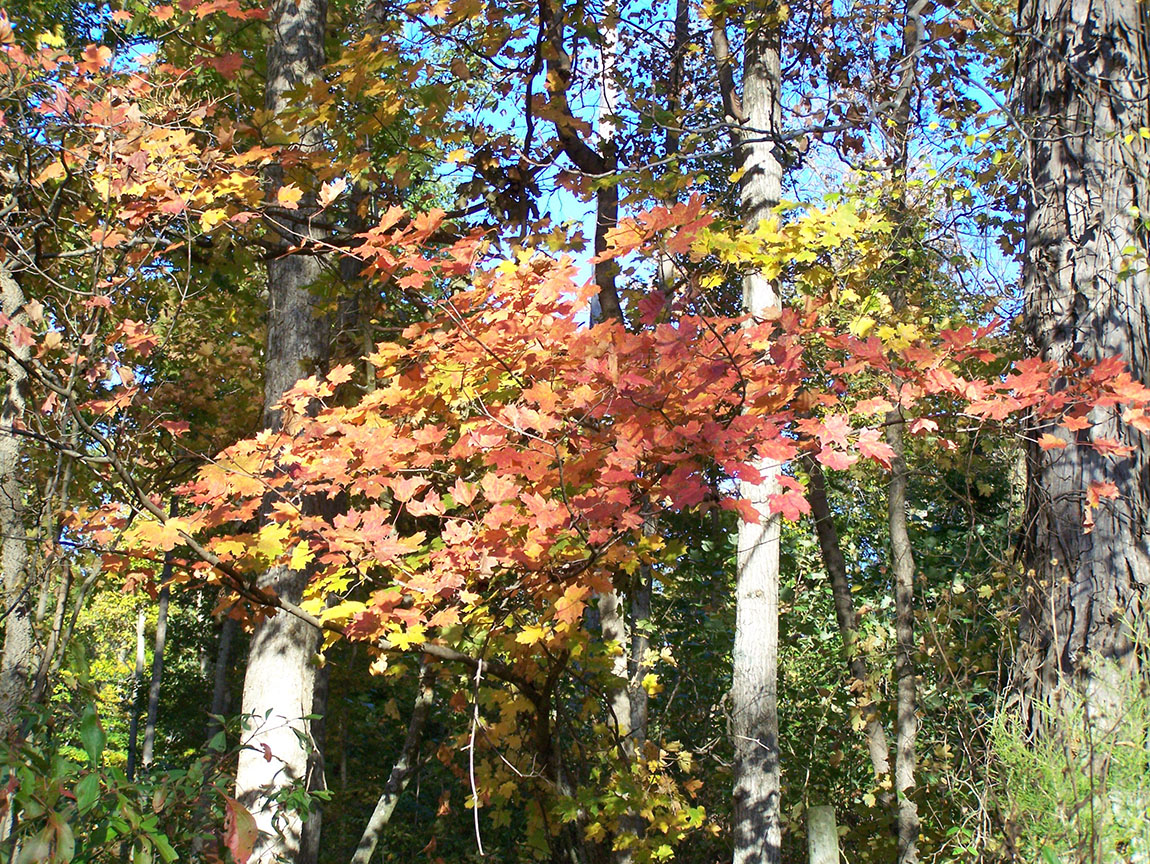 Maple in Color in Indiana forests