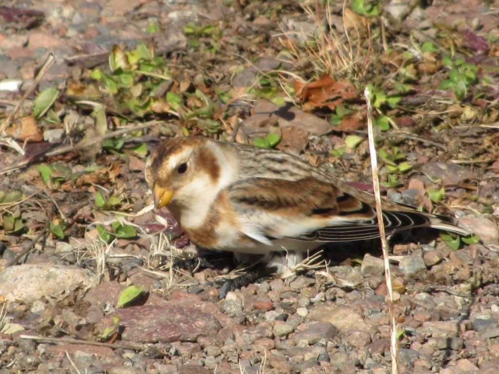 A close up of a snow bunting foraging in the gravel and leaves.