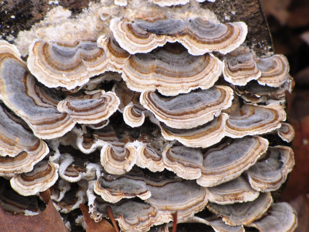 Turkey tail fungus.