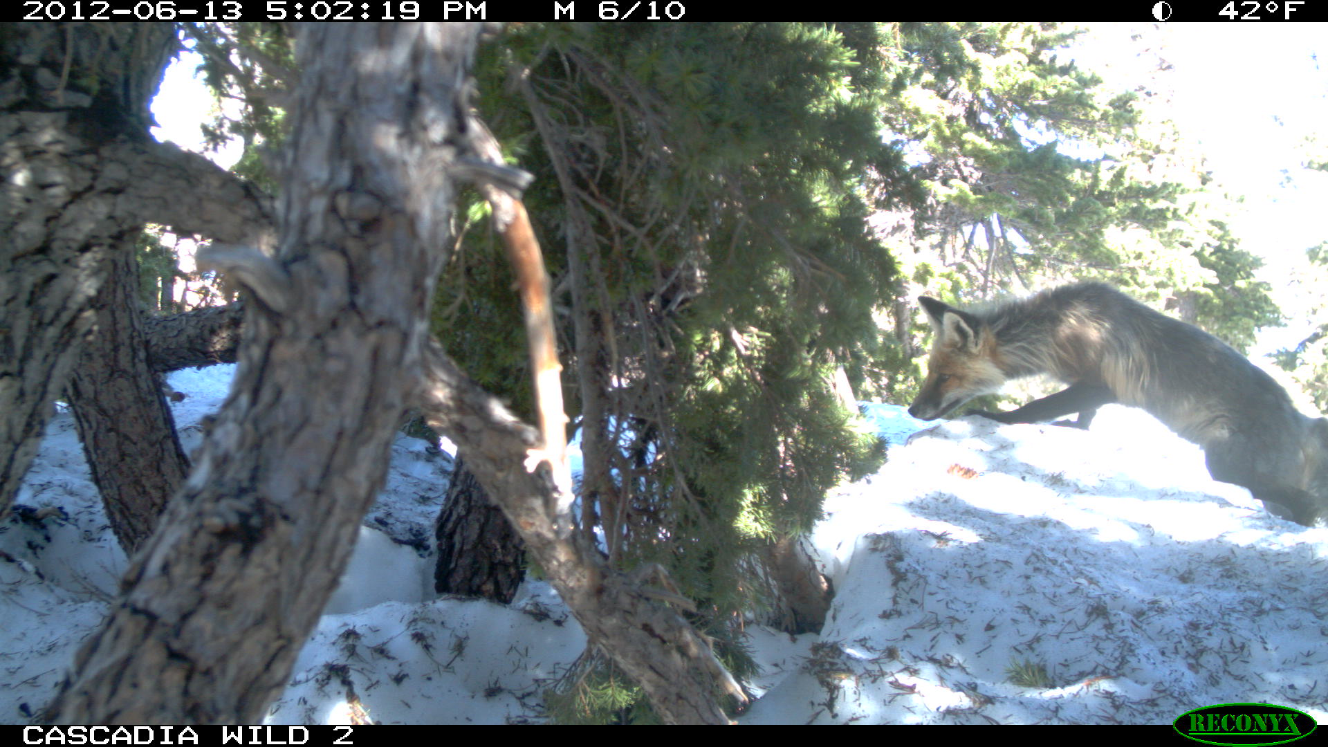 Red Fox climbing over a log stealthily in the needle-ridden snow.