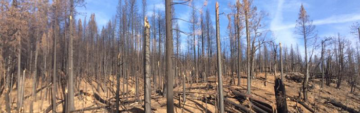 Conifer stand of snags about a year after a wildfire.