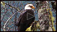 Eagle Watchers video image click on to view the Eagle Watchers and the Skagit Wild & Scenic video.