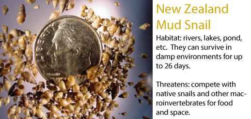 New Zealand mud snail