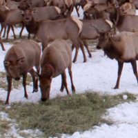 Photo of cow and bull elk eating hay on the snow-covered ground.