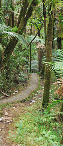 Trail path through palms and forest.