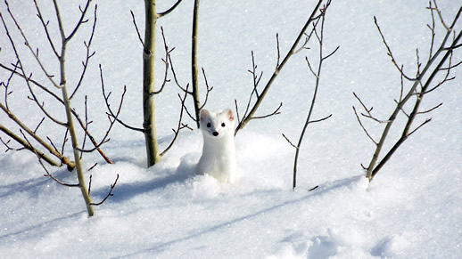 White ermine camouflaged by the snow