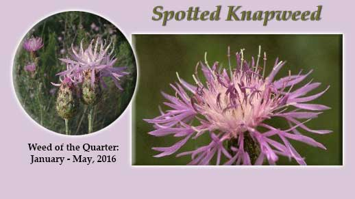 Click photo for more information on the Invasive Weed of the Quarter: Spotted Knapweed.