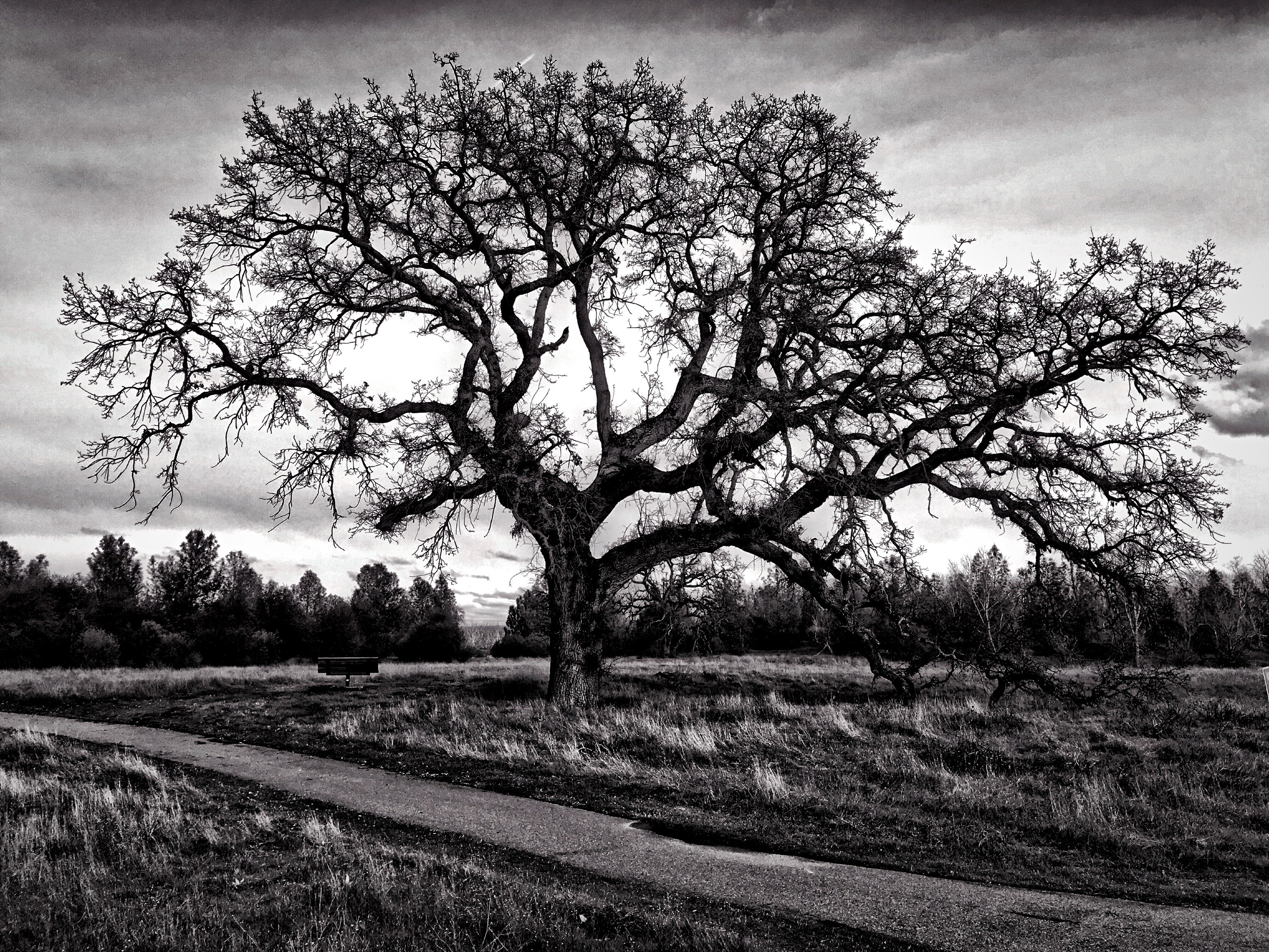 Oak Tree at red Bluff Recreation Area