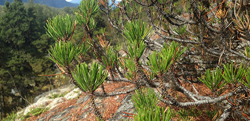 Dothistroma needle blight (Dothistroma septosporum) on shore pine near Gustavus, AK.