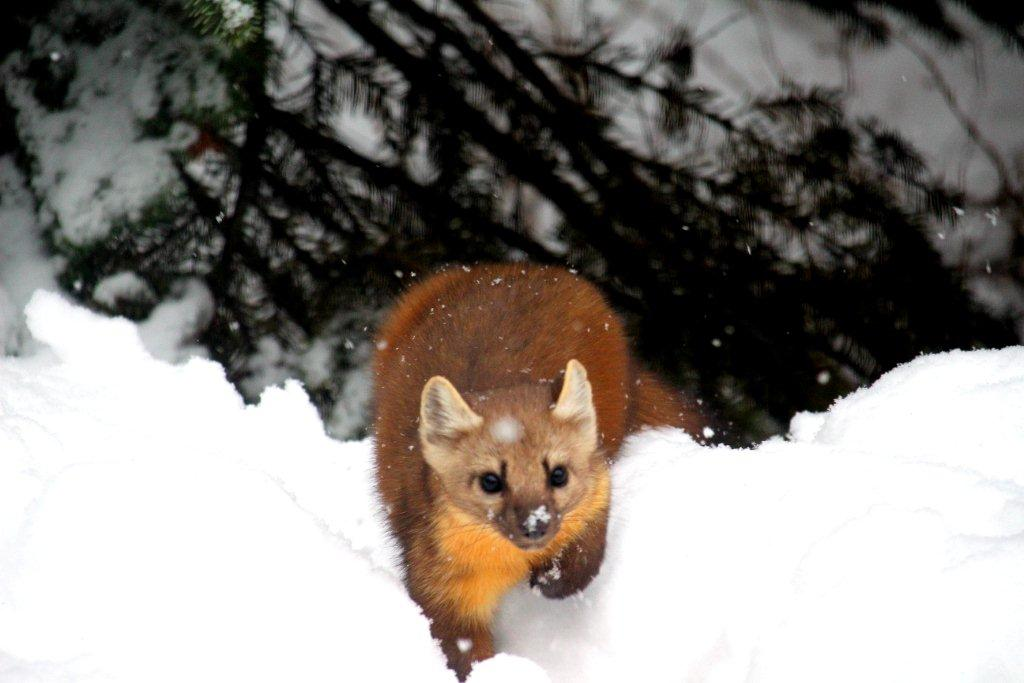 Pine Marten in snow at Dixie, Idaho