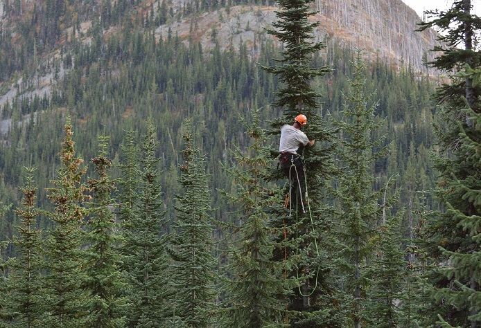 Man climbs high into the tree canopy to collect seeds.