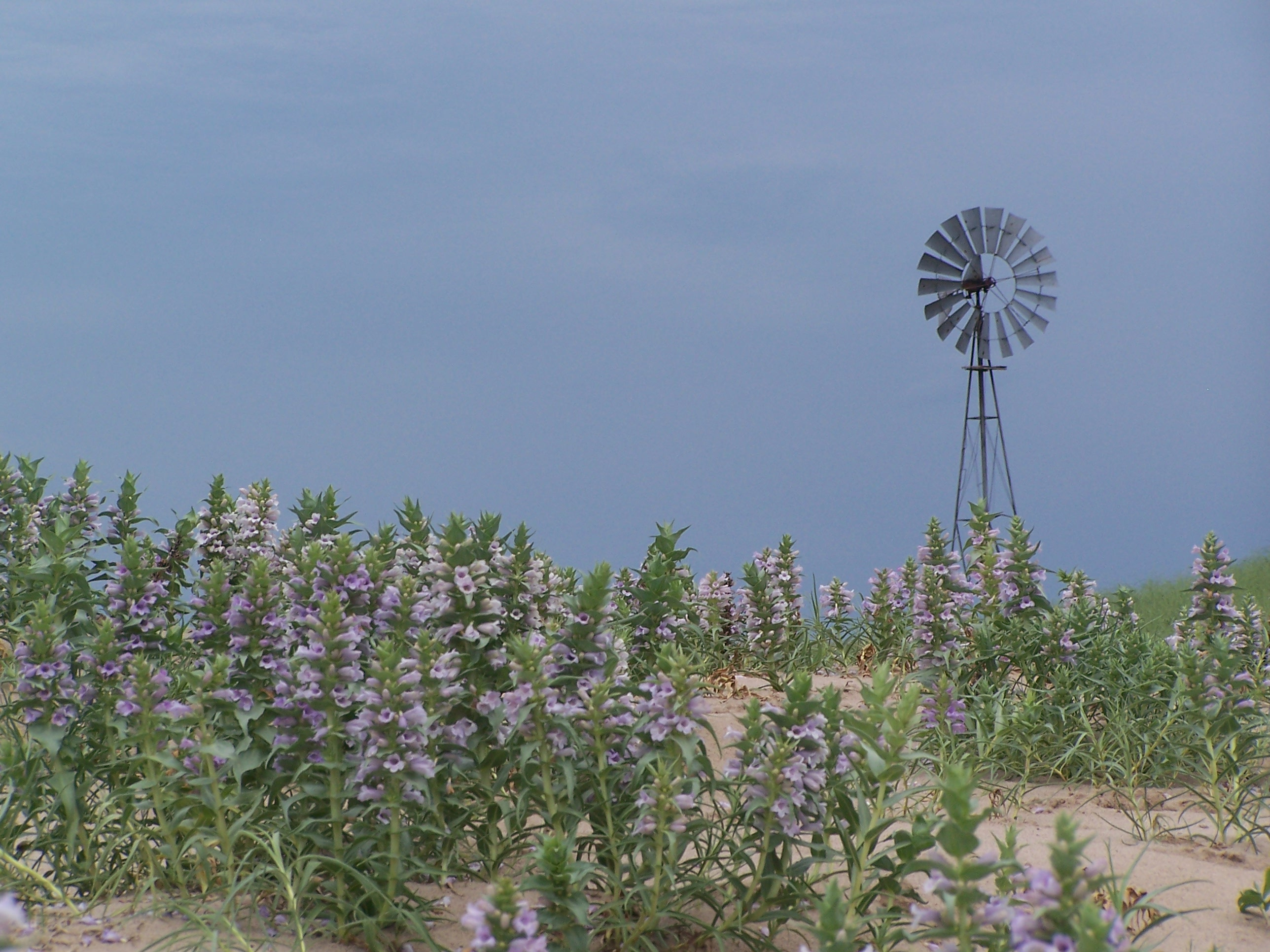 Purple blowout penstemon surround a windmill.