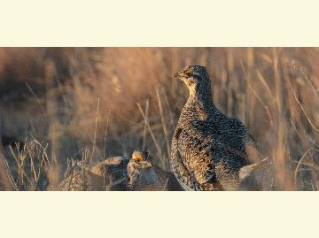 A sharptailed grouse at dawn