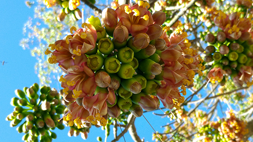 A Ceiba tree flowering in the grounds of the Institute.