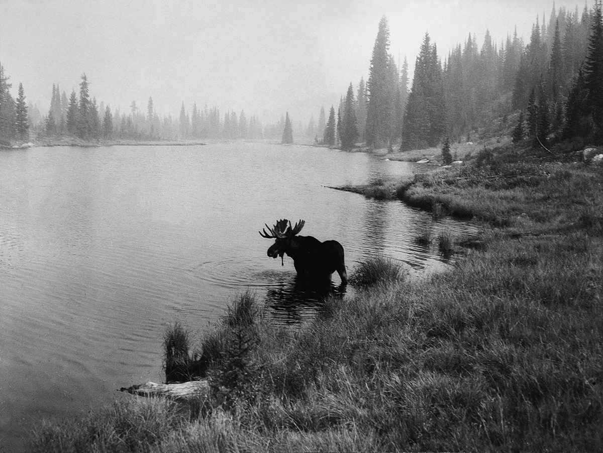 A moose standing in the water near the shore of Hoodoo Lake