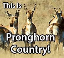 Pronghorn antelope in a meadow