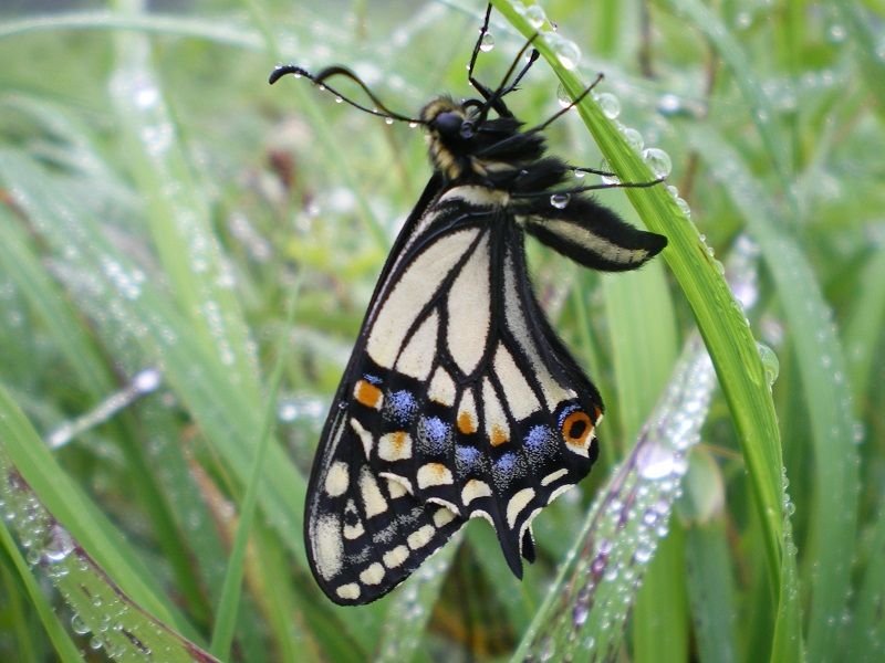 Swallowtail butterfly in the grass