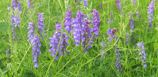 Bird vetch.