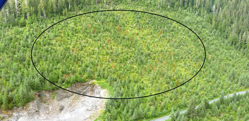 Dead yellow-cedar crop trees in a 34-year-old young-growth stand on Kupreanof Island viewed from the air.