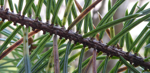 European spruce aphids feed on the needles of Sitka spruce.