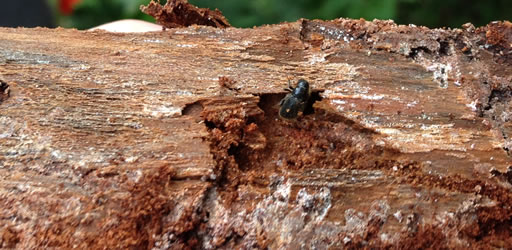 Spruce beetle.