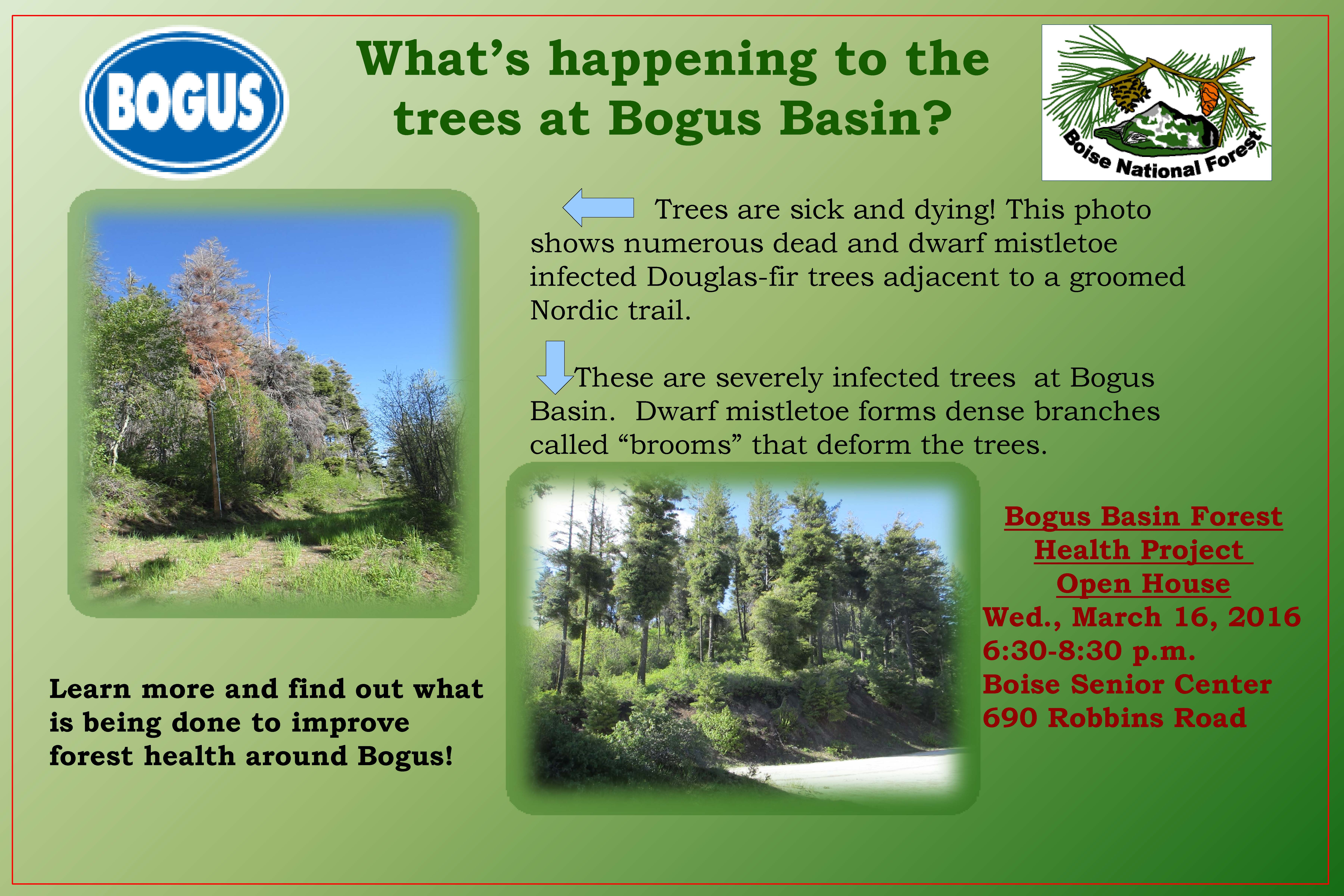 What's happening to the  trees at Bogus Basin?