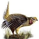 Drawing of a prairie chicken.