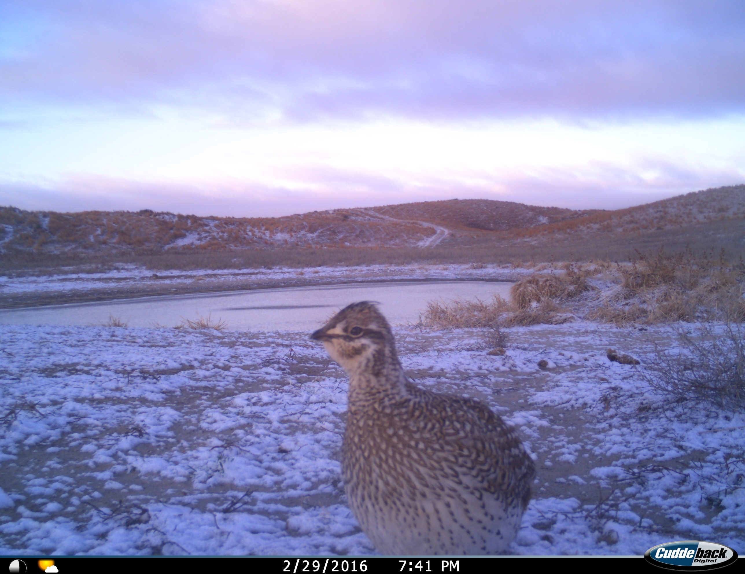 A prairie grouse at dawn near a watering hole, caught by a trail camera.