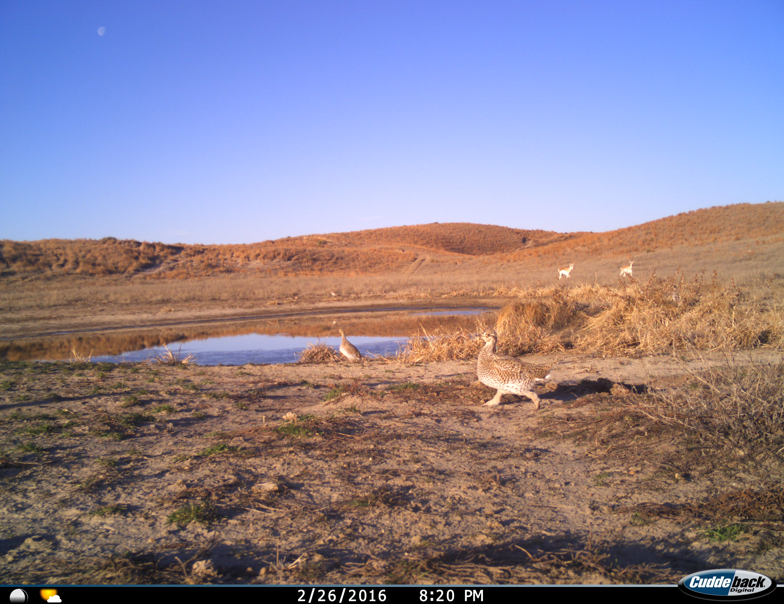 Prairie grouse and antelope feed near a watering hole.