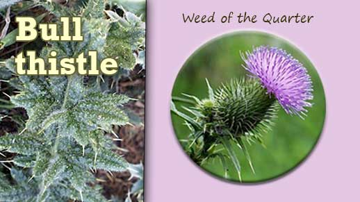 Click photo for more information on the Invasive Weed of the Quarter: Bull thistle.